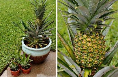 pineapple-update-august-2011