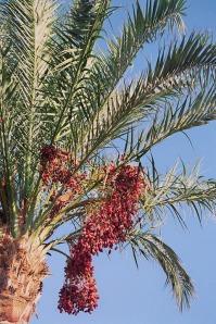 date-palm-174444_960_720.jpg