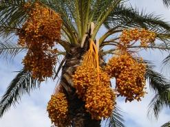 date-palm-223251_1280